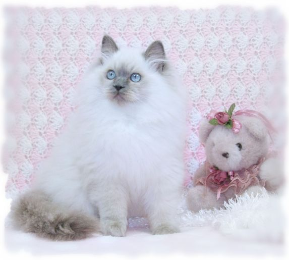 Blue Ragdoll Kitten