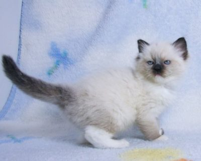 seal mitted ragdoll kitten