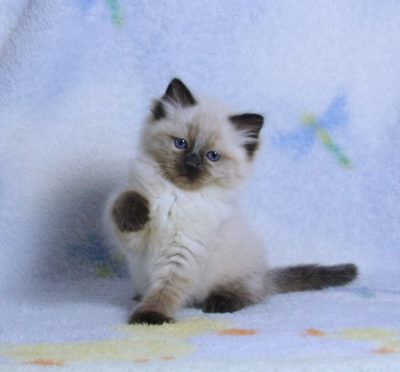 Seal colorpoint ragdoll kitten