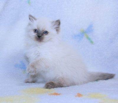 blue colorpoint ragdoll kitten